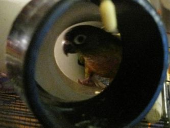 I see You - Rc the Green Cheek Conure by Vampiric-Conure