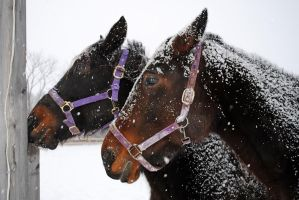 Horses in the snow 03 by LucieG-Stock