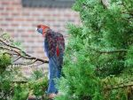 Rosella in the Rain by docwinter