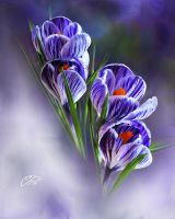 CROCUS TIGRES. by BELLESYMPHORINE