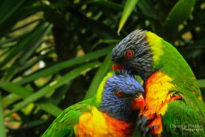 Rainbow Lorikeets-8290 by Christina-Phillips