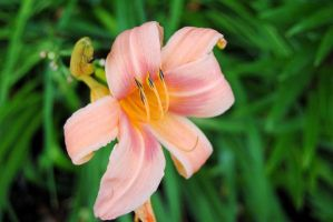 NEW Zoo: Light Pink Lily by charliemarlowe