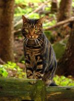 Forest Cat by FreyaPhotos