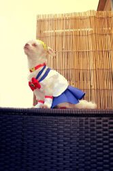 Sailor Moon Chihuahua by IlunaNeko