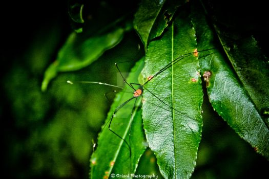 Daddy Long Leg 1 by OrianiPhotography