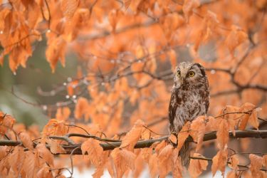 autumn owl by morho