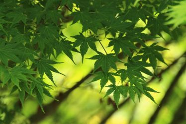 maple leaves by hv1234