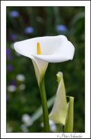 Calla 5 by Phototubby