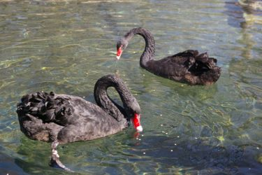Black Swans by WaffleTopStock
