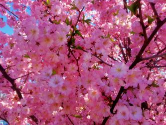 The Pink Blossoms by Matthew-Beziat