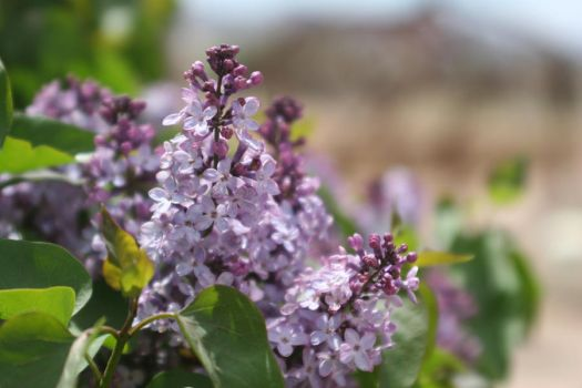 Lilac 1 by paulrich