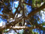 Web in the pine by MindlessAngel
