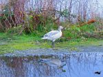 Snow Goose In Refelction by wolfwings1