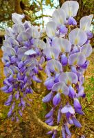 Purple Wisteria by Calypso1977