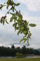 Apples, Mountain by photorox33