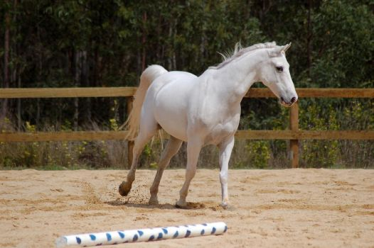 Arab canter head to side by Chunga-Stock