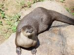 Sunning Otter by LinzStock