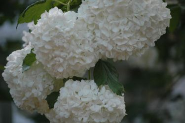 Flowers by zoginger on deviantart zoginger 1 0 white puffball flowers by zoginger mightylinksfo