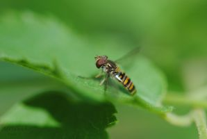 Hoverfly by ABDCrochet