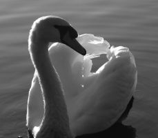 swan 2 by OpticalIlluzens