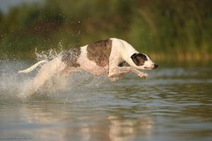 Greyhound water sports by Wolfruede