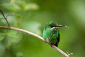 Green-crowned brilliant 4 by CBasco