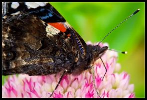 Red Admiral Close by Wivelrod