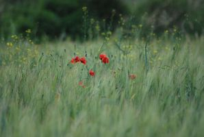 Papaver rhoeas by Swiniaki