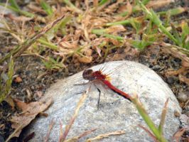 Daily Mews Photo - Red Dragonfly - 24/8/2012 by akaLOLCat