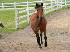 Quarter Horse 53 by EquineStockImagery