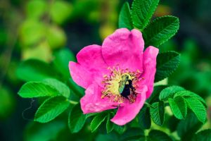 Bumblebee on a Pink Flower by 5bodyblade
