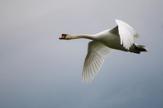 Swan Side View by organicvision
