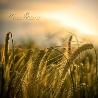 ...another cornfield by S-Patriot