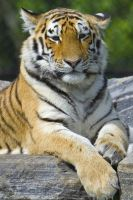 Tiger Watching 8397120 by StockProject1
