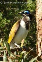 Blue-Faced Honey Eater II by BreeSpawn