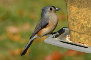 Tufted Titmouse by Brooklyn47