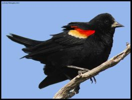 Red-winged Blackbird by EWilloughby