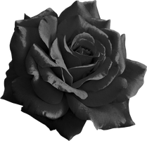 Black Rose png by yotoots