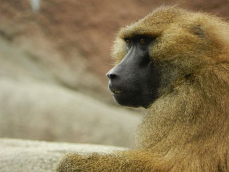 Baboon Sees All by OsarionStudios