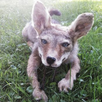 Daisy, Coyote puppy soft mount. by psychische