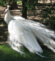 White Peacock 06 by MapleRose-stock