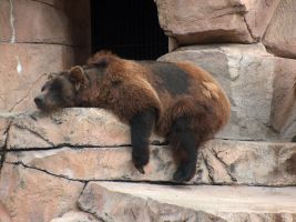 Brown Bear Stock4 by Gnewi-Stock
