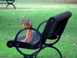 squirrel on a bench by anonymoose1