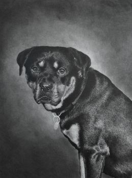 Rottweiler pencil drawing by graphitemyers