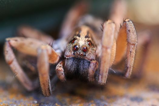 Close up Spider by KingFamine