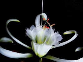 Spider Lily..... by TriciaS