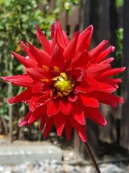 cactus dahlia by InsanityPants