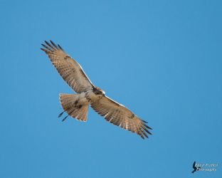 Red Tailed Hawk 8 by EdgedFeather