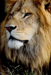 Lion by Art-Photo