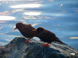 Starling By Water by wolfwings1